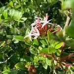 Carissa spinarum Leaf