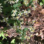 Eurybia divaricata Blomst