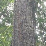 Hopea griffithii