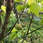 Prunus armeniaca 果実