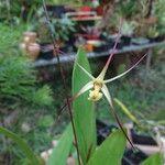 Dendrobium begaudii