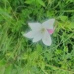 Gladiolus candidus