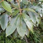Cossinia pinnata Levél