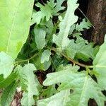 Ficus ulmifolia