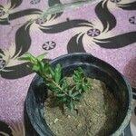 Rosmarinus officinalis Fruit