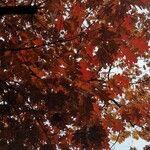 Quercus rubra List