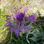 Centaurea uniflora