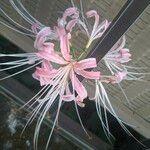 Lycoris × albiflora