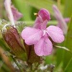 Pedicularis sylvatica
