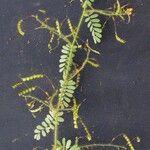 Aeschynomene elegans