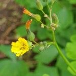 Youngia japonica
