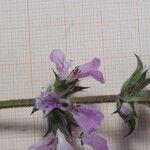 Stachys arenaria