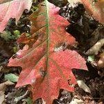 Quercus rubra Leht