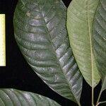 Pouteria leptopedicellata