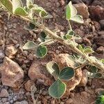 Crotalaria emarginella Leaf