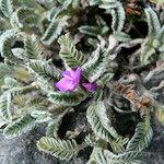 Astragalus geminiflorus