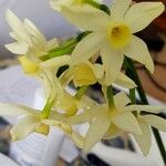 Narcissus tazetta Flower