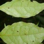 Malpighia albiflora