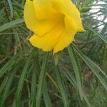 Cascabela thevetia 花