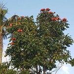 Spathodea campanulata Flower