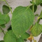 Salvia dorisiana