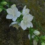 Campanula persicifolia Fleur