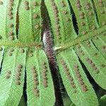 Thelypteris decussata