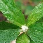 Croton glandulosus