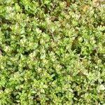 Montia fontana 葉