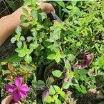 Dissotis rotundifolia Levél