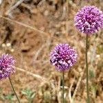 Allium carmeli
