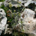 Galium fleurotii