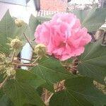 Hibiscus mutabilis Fleur