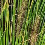 Carex hispida