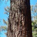 Eucalyptus siderophloia