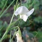 Lathyrus sativus