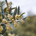 Olea europaea Fleur