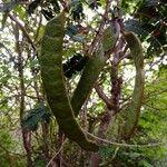 Acacia muricata