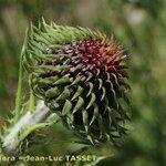 Carduus aemilii