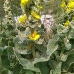 Verbascum undulatum