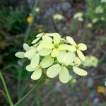 Biscutella auriculata
