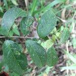 Tetrapterys schiedeana
