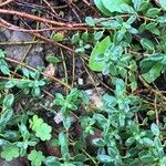 Helianthemum croceum