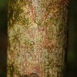 Anacardium spruceanum