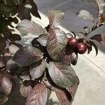 Prunus cerasifera Levél