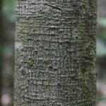 Vatairea erythrocarpa