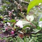 Deutzia scabra Flower