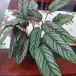 Calathea spp.
