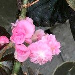 Begonia cucullata cv. 'Doublet Rose Pink'