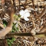 Priva curtisiae Kwiat